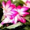 Почему «декабрист» не цветет?