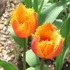 Изысканная прелесть бахромчатых тюльпанов