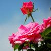 Розариум в саду: каким сортам отдать предпочтение