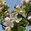 Подкормка яблонь