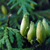Туя - способ вырастить саженцы из семян