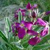 Маттиола - освежитель воздуха в вашем саду