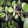Декоративные садовых растений в качестве лекарственных