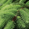 Колючие листья, мохнатые лапы