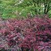 Сад в бордовых тонах