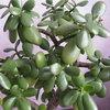 Как вырастить денежное дерево?