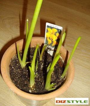Каллы уход выращивание хранение в домашних условиях 27