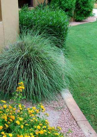 Декоративные злаковые растения в пейзаже ландшафтного дизайна.