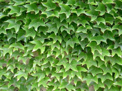 Летняя листва - Девичий триостренный виноград