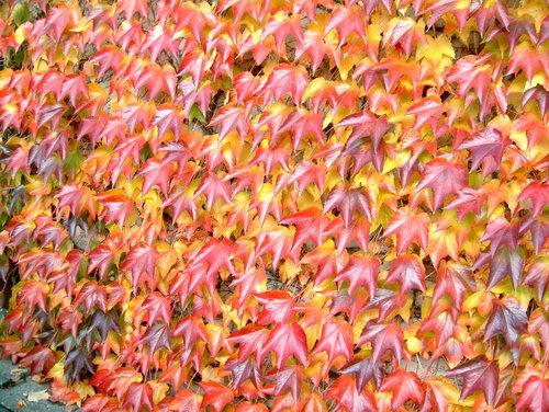 Листва - осенняя окраска - Девичий триостренный виноград - сорт 'Green Spring'