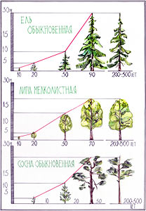 Изменение габитуса дерева при его формировании